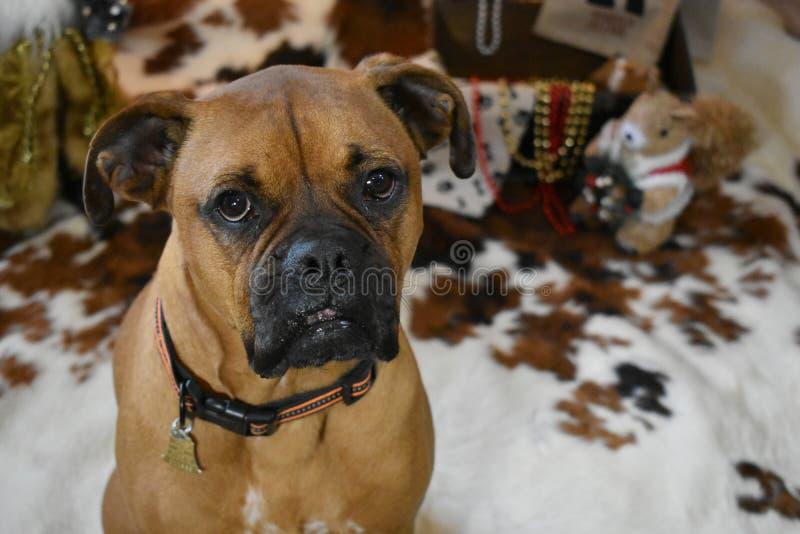 Portrait de Noël de chien de race de boxeur image stock
