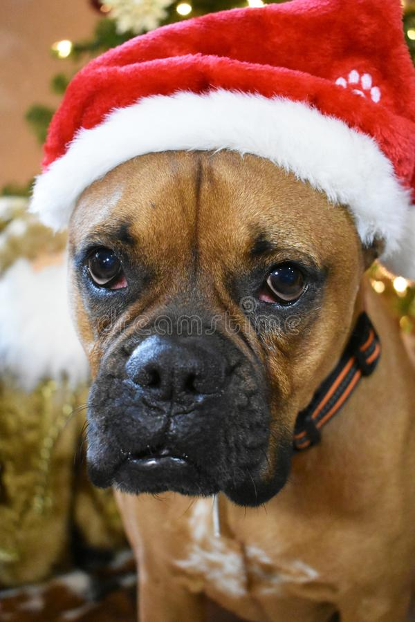 Portrait de Noël de chien de race de boxeur photographie stock libre de droits
