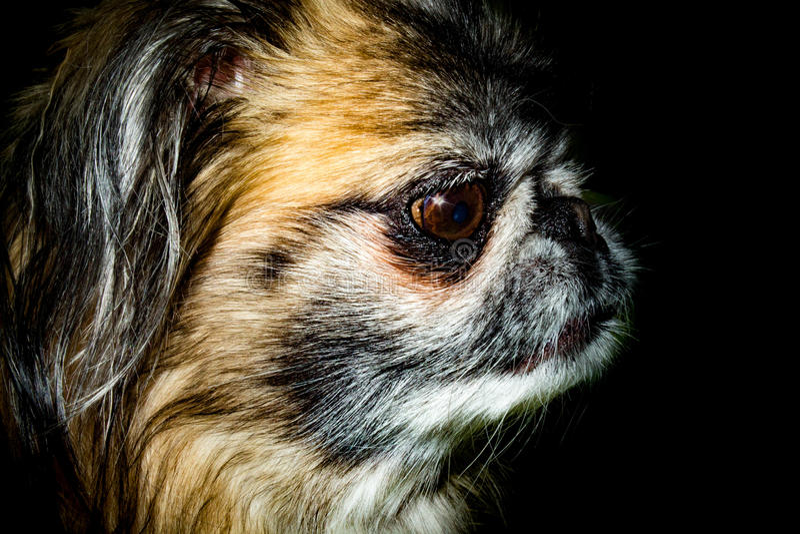 Portrait de pékinois - tête de chien d'isolement par noir image stock