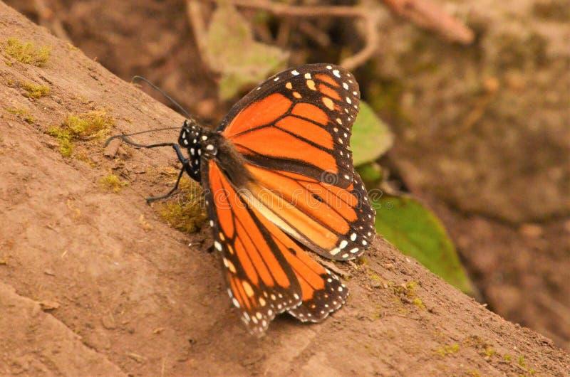 Portrait de papillon de monarque au Mexique photos stock