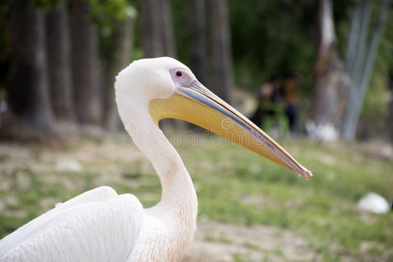 Portrait de Pelikan, dehors photo stock