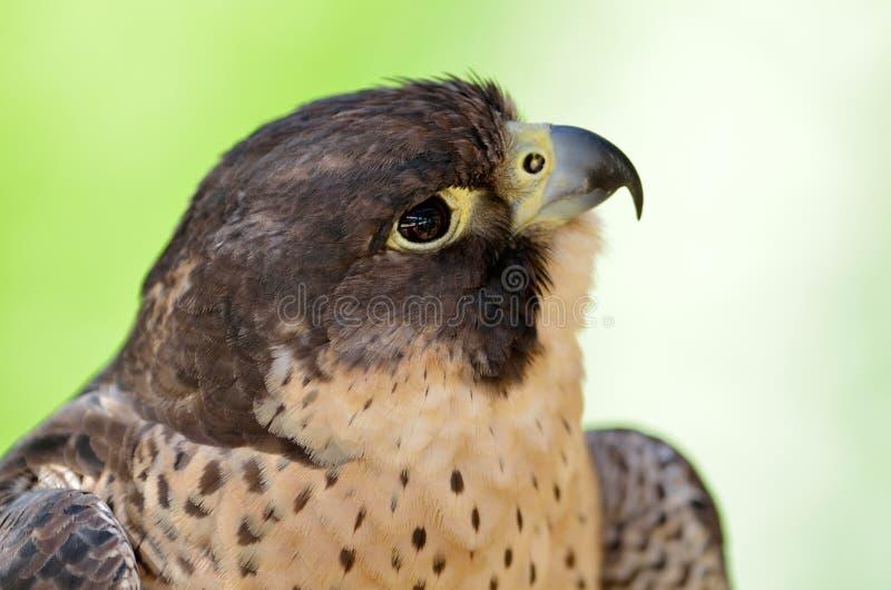 Portrait de Peregrine Falcon (peregrinus de Falco) images stock