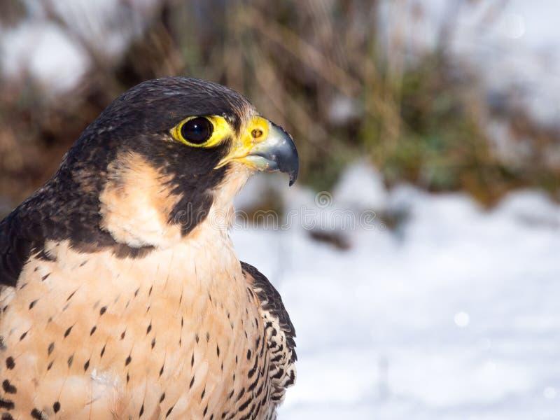 Portrait de Peregrine Falcon (peregrinus de Falco) images libres de droits