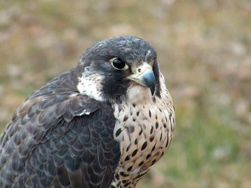 Portrait de peregrinus de Falco de faucon pérégrin images libres de droits