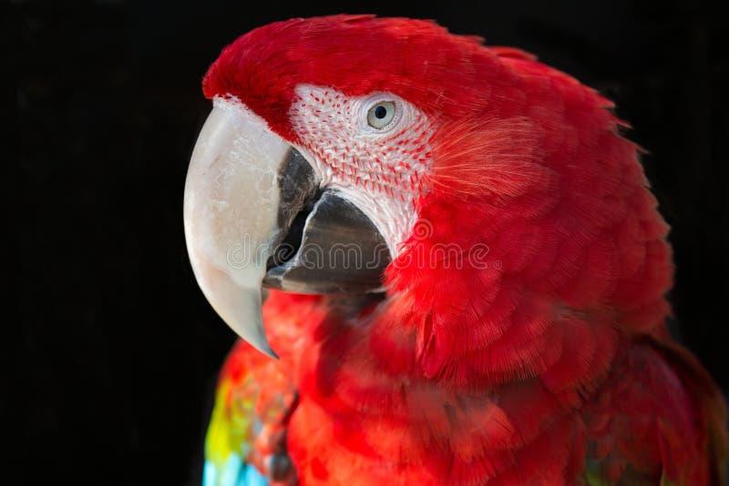 Portrait de perroquet d'ara d'écarlate photographie stock libre de droits
