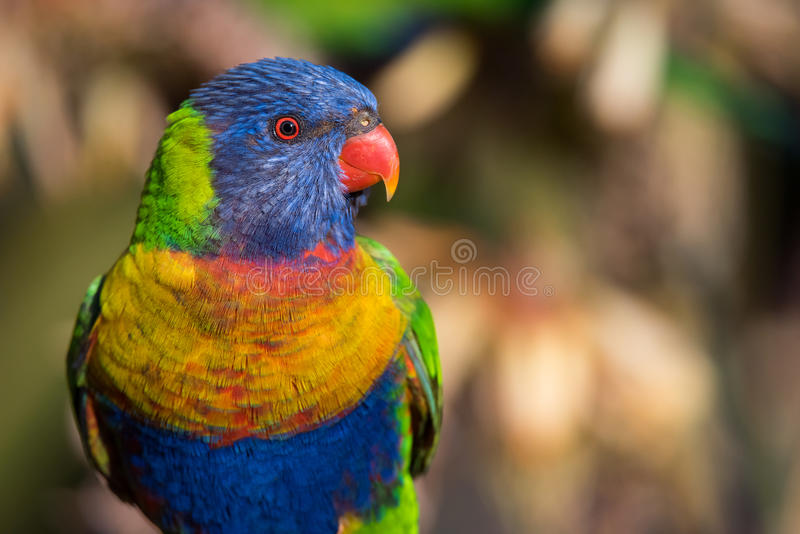 Portrait de perroquet de Lorikeet d'arc-en-ciel avec 3/4 composition à Adelaïde, Australie images libres de droits