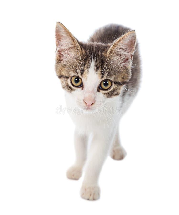 Portrait de petit chat regardant à l'appareil-photo images stock