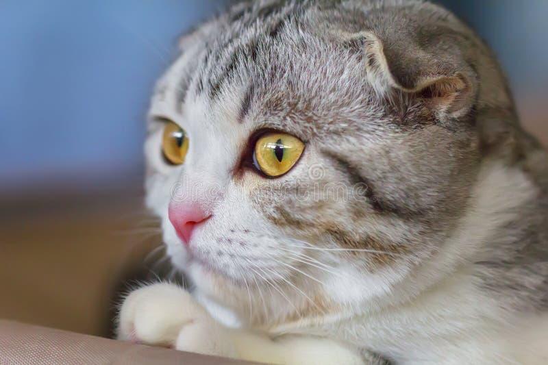 Portrait de petit chaton de pli d'écossais images libres de droits