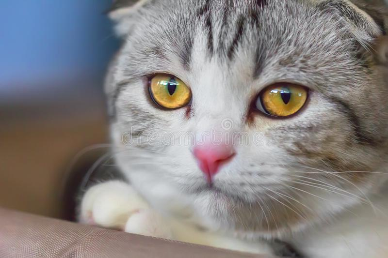 Portrait de petit chaton de pli d'écossais photographie stock libre de droits