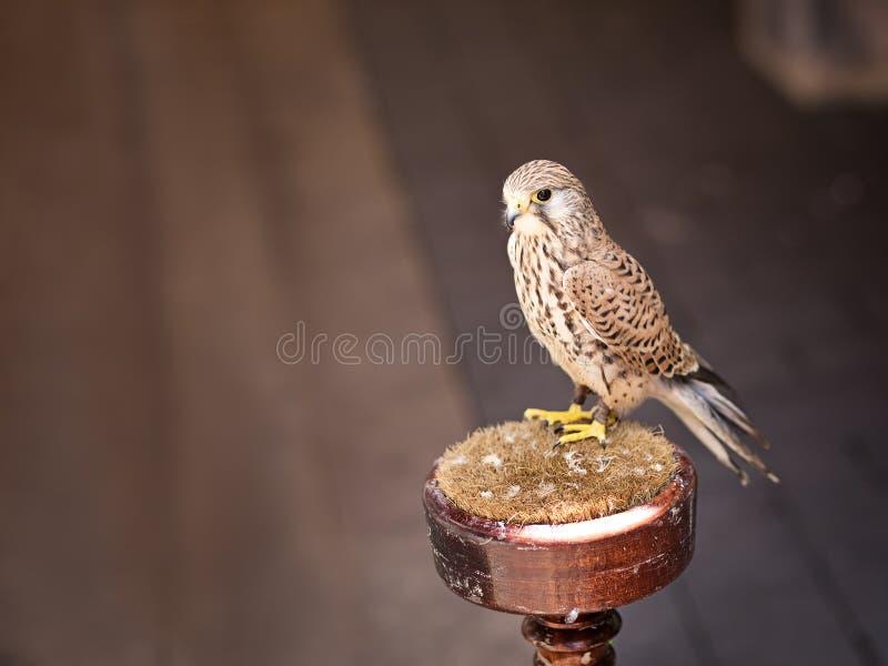 Portrait de petit oiseau de proie Tinnunculus de Falco photos libres de droits