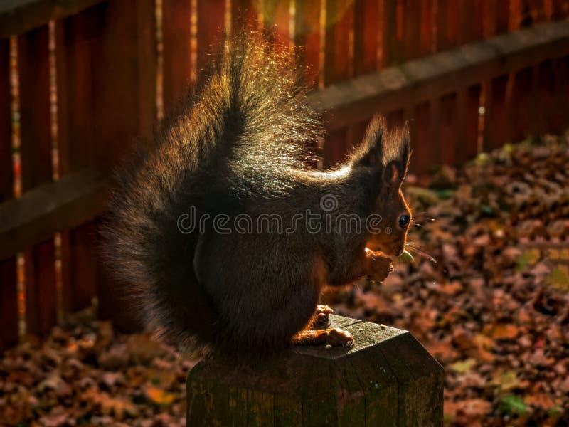 Portrait de petite silhouette mignonne d'écureuil dans le contre-jour image stock