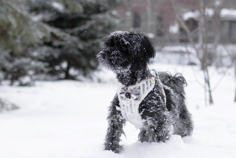 Portrait de phénotype coloré russe noir de chien de recouvrement sur un fond de forêt conifére avec le château à l'hiver photo stock