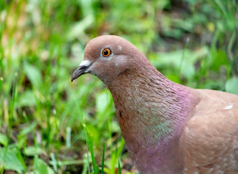Portrait de pigeon brun dans l'herbe verte images stock