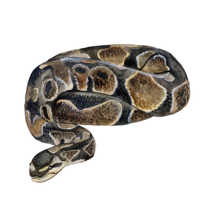Portrait de plan rapproché d'aquarelle de python royal ou de fondation royale de python d'isolement sur le fond blanc Dangereux f image stock
