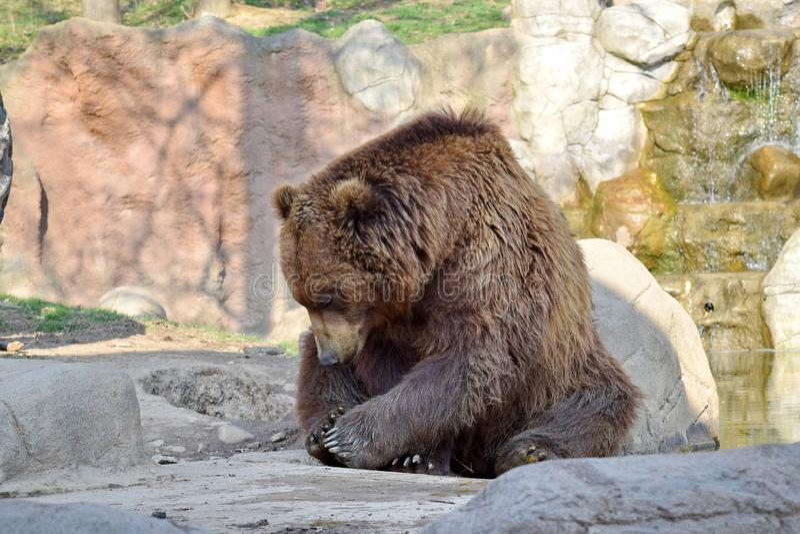 Portrait de plan rapproché d'Arctos Beringianus d'Ursus de couples d'ours de Brown photographie stock