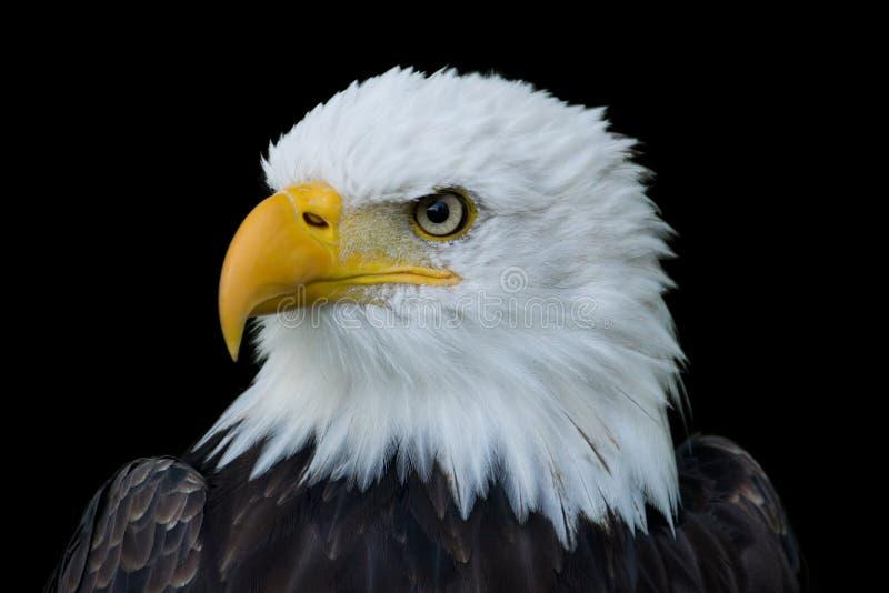 Portrait de plan rapproché d'Eagle chauve américain image libre de droits