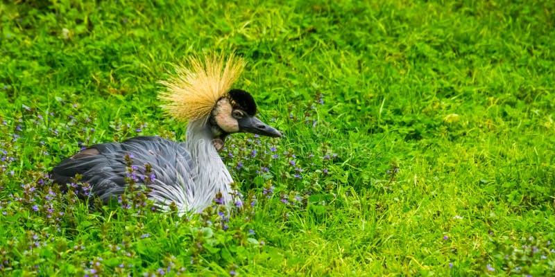 Portrait de plan rapproché d'un oiseau couronné gris de grue se reposant dans l'herbe, espèce tropicale d'oiseau d'Afrique photo stock