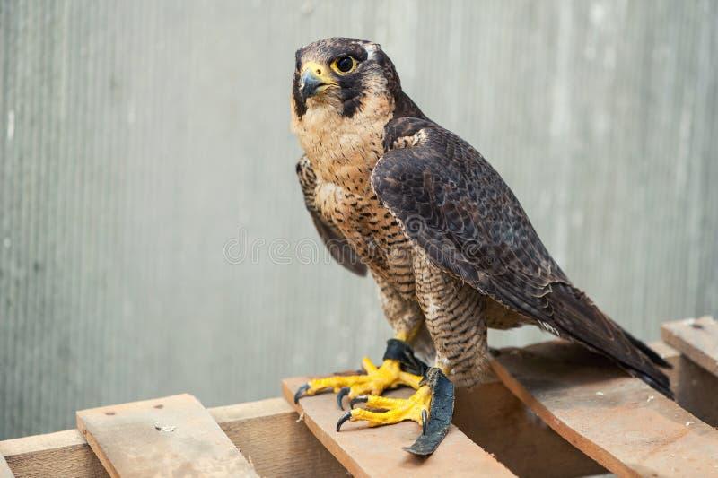 Portrait de plan rapproché d'un peregrinus de falco de faucon pérégrin photo stock