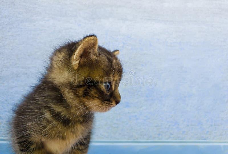 Portrait de plan rapproché d'un petit chaton gris rayé adorable avec les taches brunes semblant curieuses de côté au-dessus d'un  photos stock