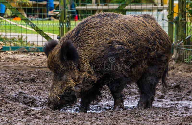 Portrait de plan rapproché d'un sanglier dans la boue, animal largement écarté par le monde photographie stock libre de droits