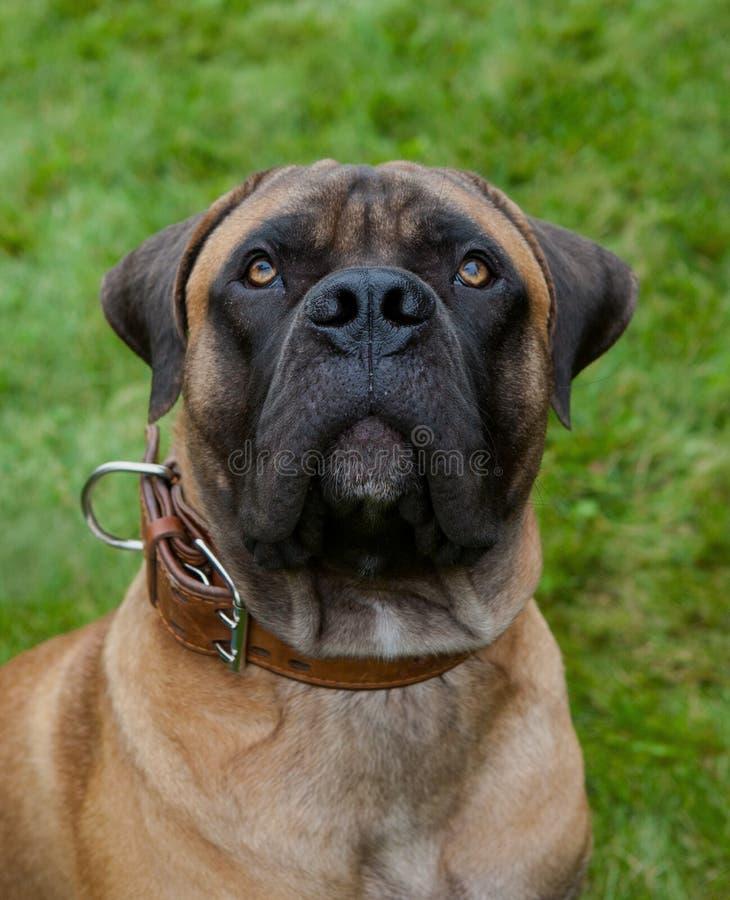 Portrait de plan rapproché d'une belle race rare de chien Boerboel sud-africain sur le fond d'herbe verte photo stock