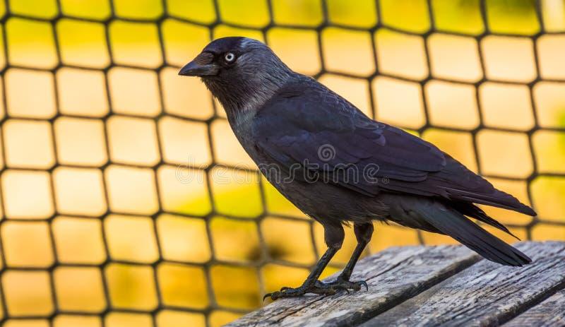 Portrait de plan rapproché d'une corneille noire, espèce cosmopolite commune d'oiseau images libres de droits