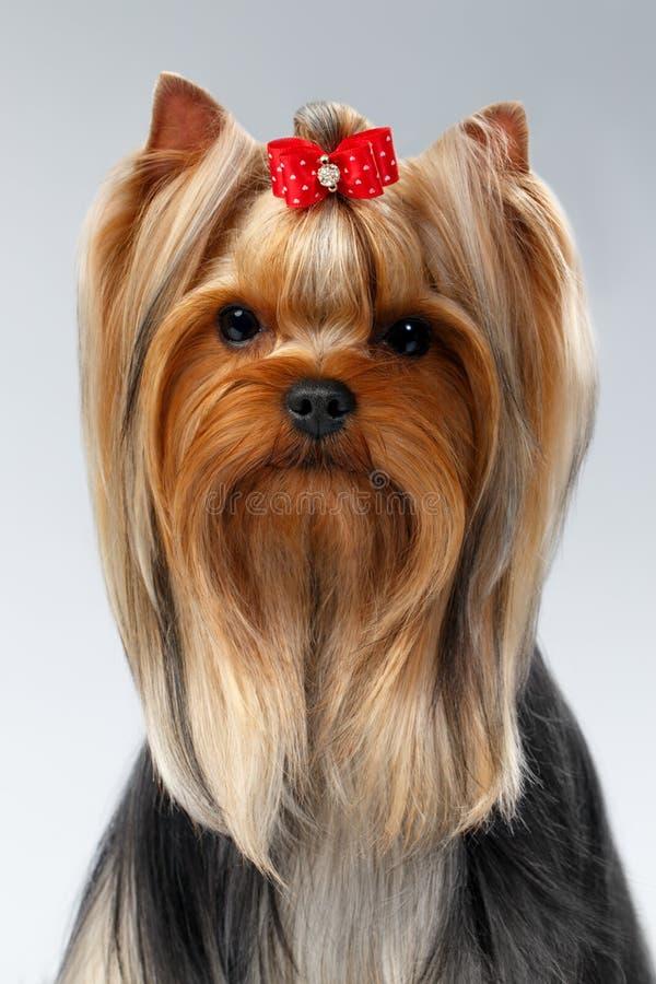 Portrait de plan rapproché de chien de Yorkshire Terrier sur le blanc images libres de droits