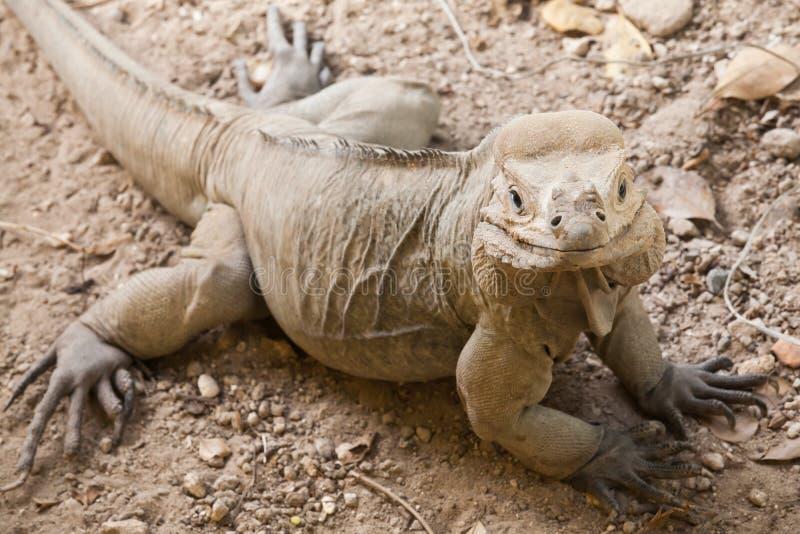 Portrait de plan rapproché de lézard d'iguane de rhinocéros images libres de droits