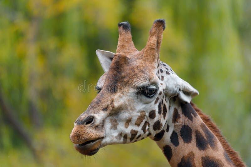 Portrait de plan rapproché de girafe images libres de droits