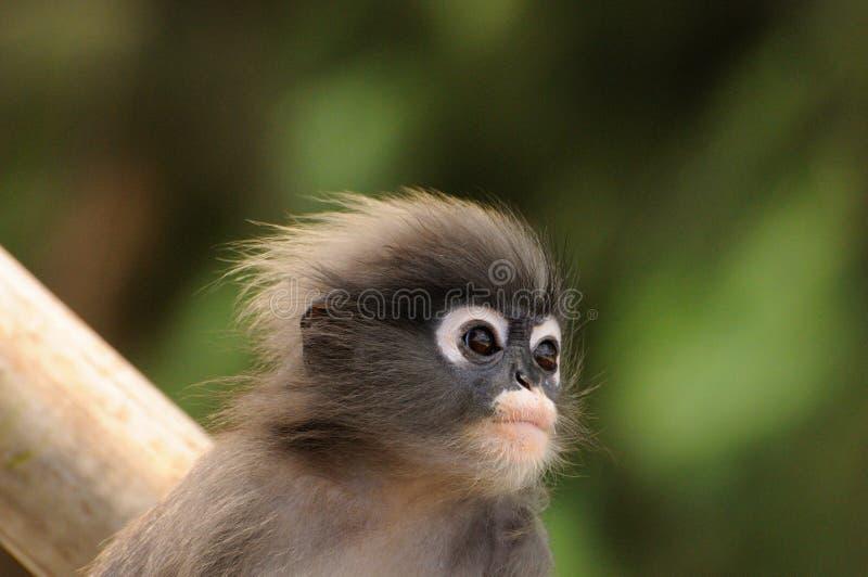 Portrait de plan rapproché de jeune langur sombre sauvage, singe sombre de feuille, langur à lunettes, singe à lunettes de feuill photo stock