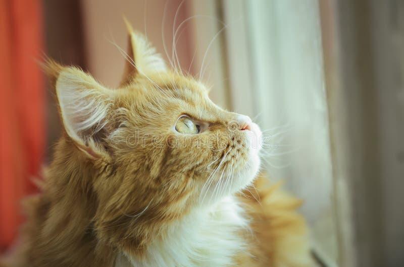 Portrait de plan rapproché de Maine Coon Cat photographie stock libre de droits