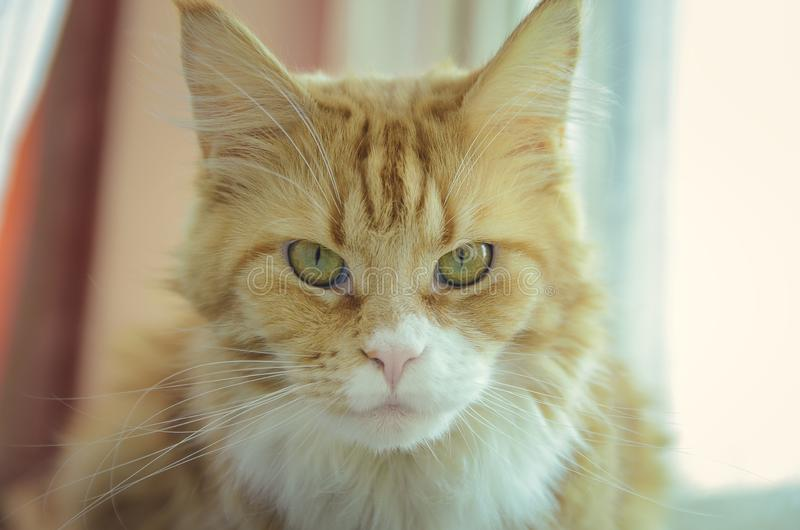 Portrait de plan rapproché de Maine Coon Cat image libre de droits