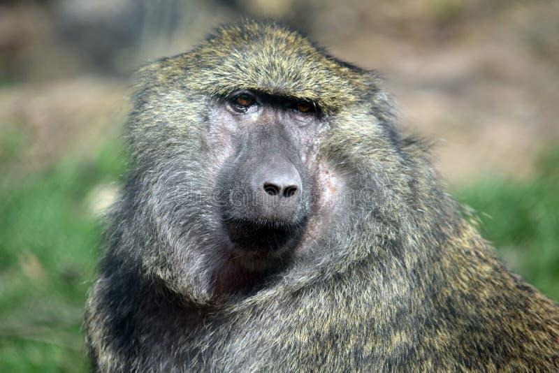Portrait de plan rapproché de tête d'Anubis de Papio de singe de babouin photos libres de droits