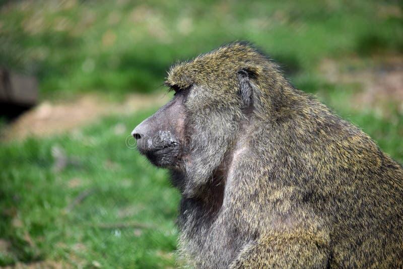 Portrait de plan rapproché de tête d'Anubis de Papio de singe de babouin images stock