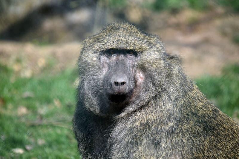 Portrait de plan rapproché de tête d'Anubis de Papio de singe de babouin photo libre de droits