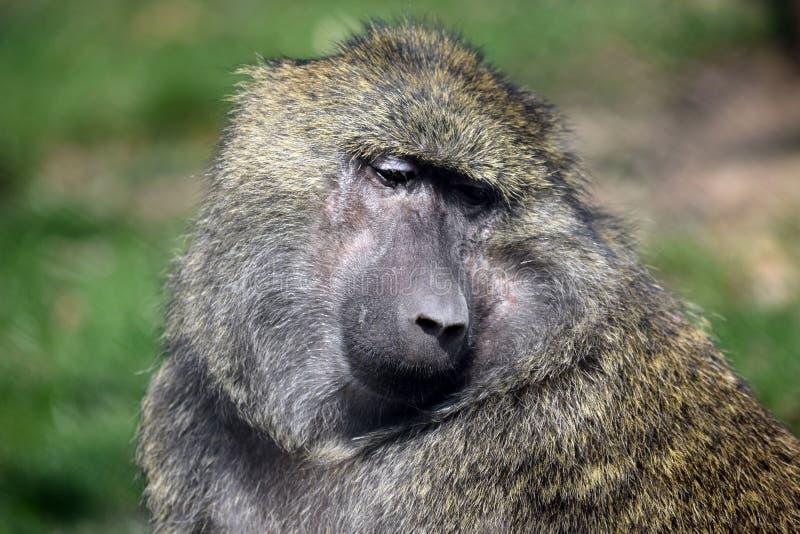 Portrait de plan rapproché de tête d'Anubis de Papio de singe de babouin image libre de droits