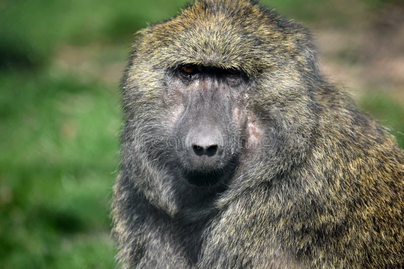 Portrait de plan rapproché de tête d'Anubis de Papio de singe de babouin photo stock
