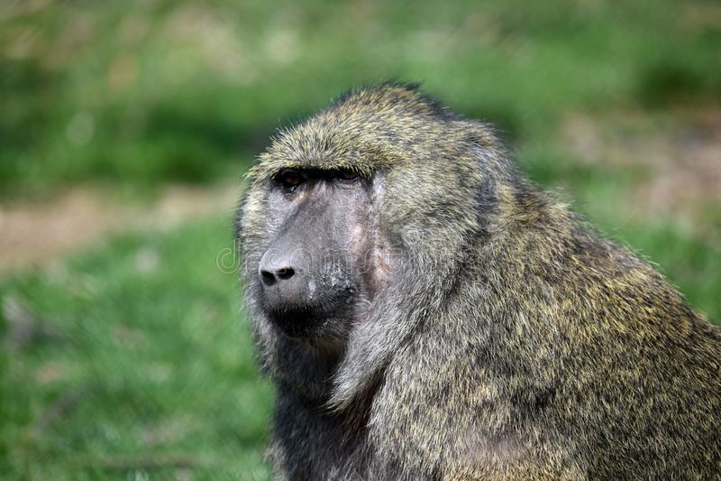 Portrait de plan rapproché de tête d'Anubis de Papio de singe de babouin photos stock