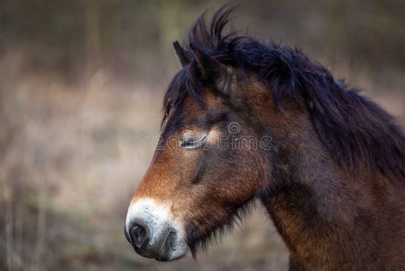 Portrait de plan rapproché, tête du cheval sauvage mignon et somnolent avec les yeux fermés, poney d'exmoor dans Podyji images stock