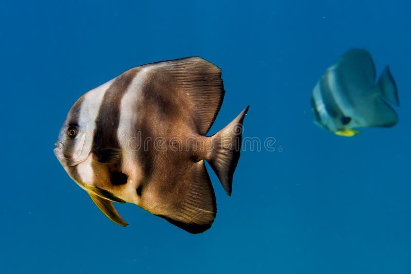 Portrait de poissons de batte photo stock