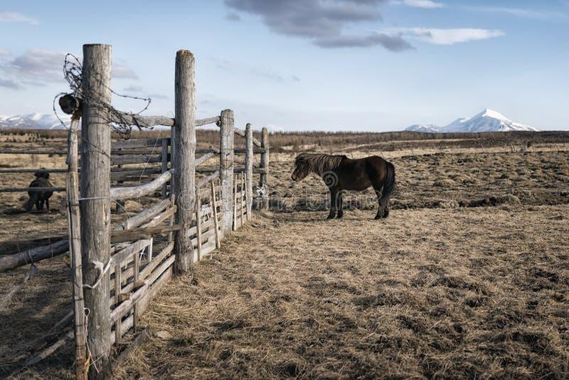 Portrait de poney de l'Islande photos stock