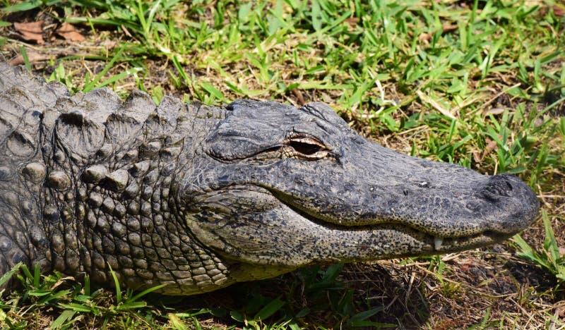Portrait de profil d'alligator image stock