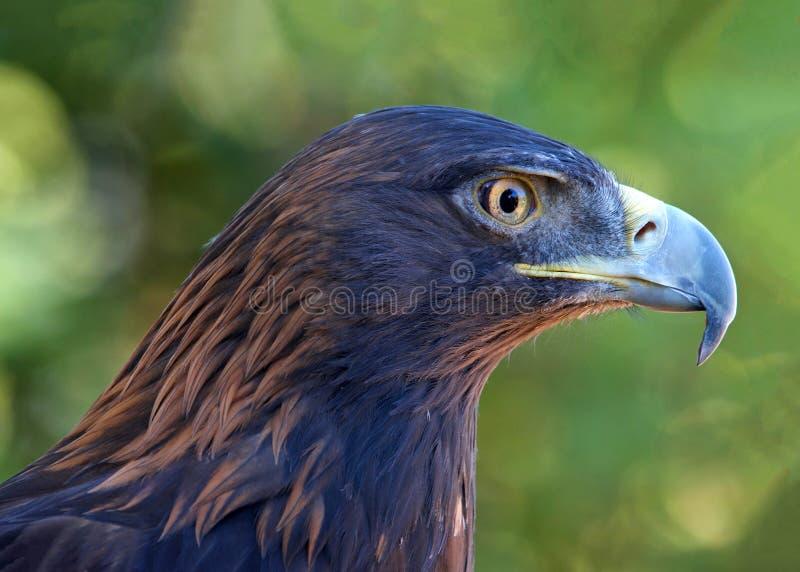 Portrait de profil d'Eagle d'or majestueux photo stock