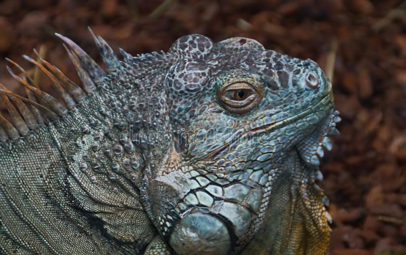 Portrait de profil d'iguane photo stock