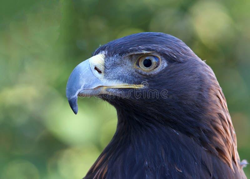 Portrait de profil d'un aigle d'or photographie stock