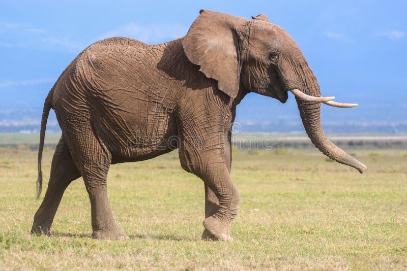Portrait de profil d'un jeune éléphant masculin photos stock