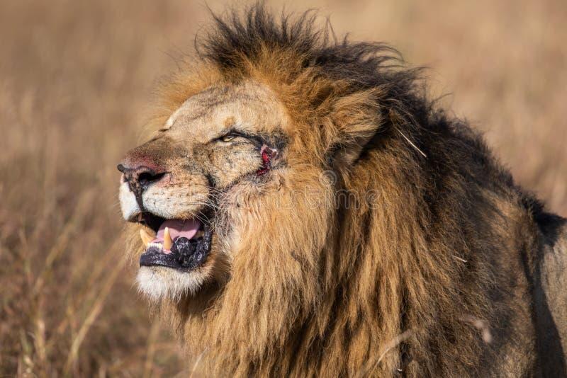 Portrait de profil de la cicatrice II, de l'Elewana ou de la rivière de sable Lion Up Close masculin au foyer sélectif avec l'her photos stock