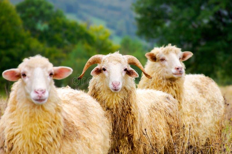 Portrait de RAM dans le troupeau de moutons images libres de droits