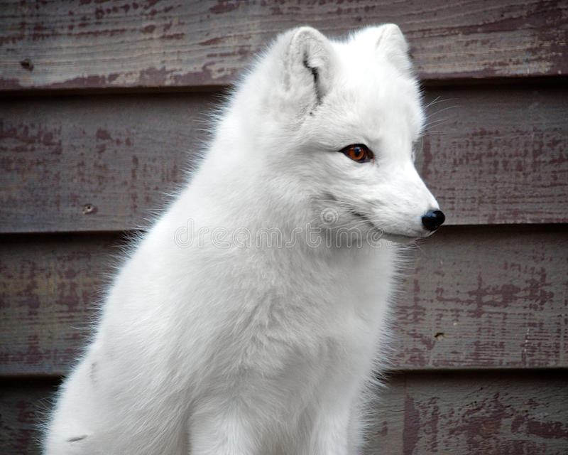 Renard arctique photos stock