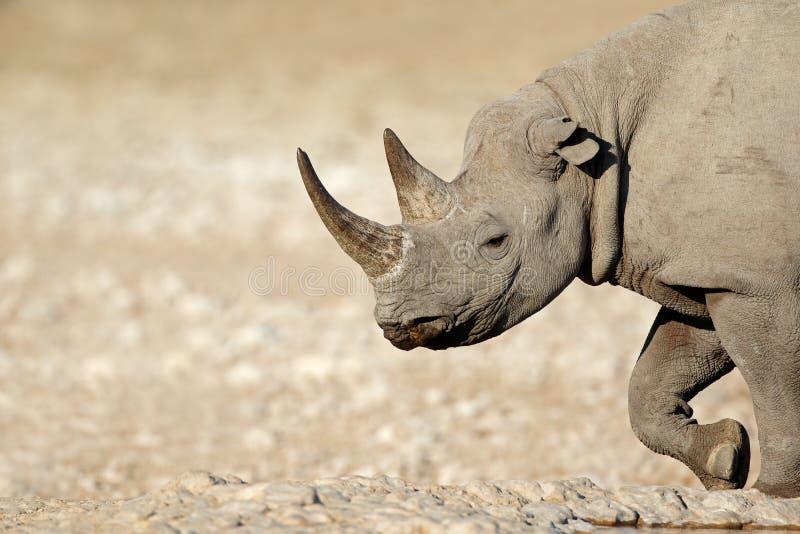 Portrait de rhinocéros noir photo libre de droits